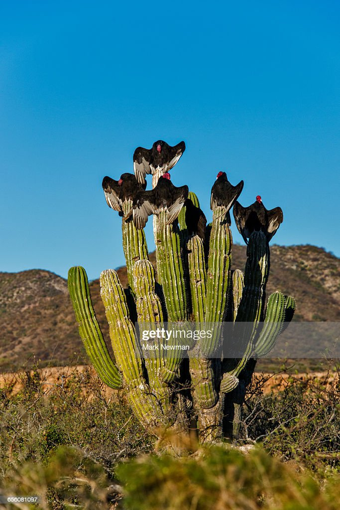 Vultures on Cardon Cactus