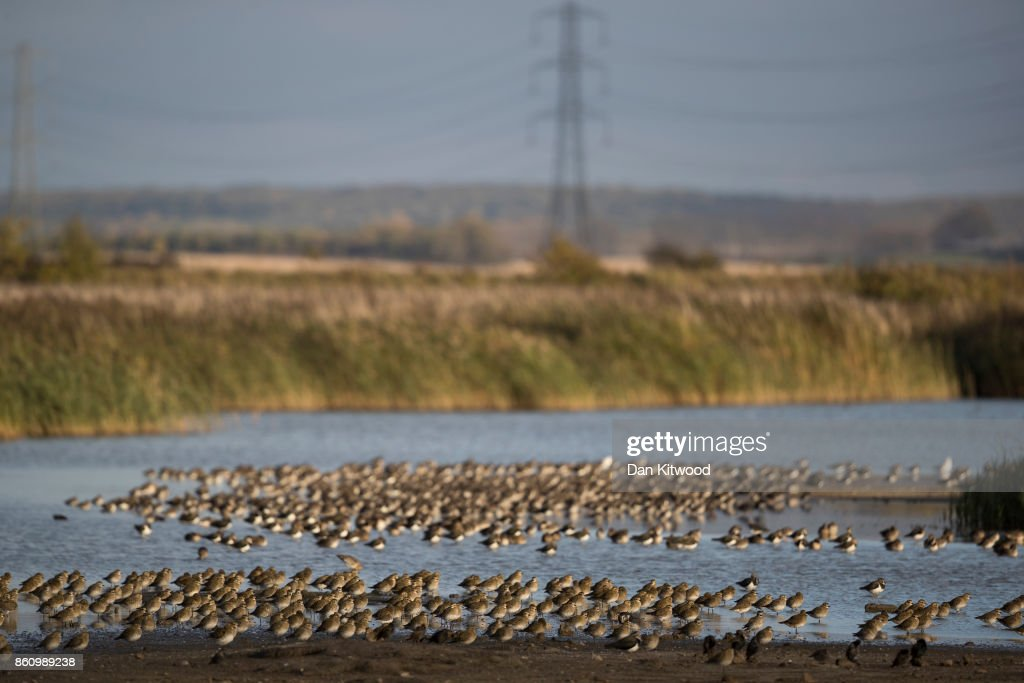 Waders including Golden Plover and Black Tailed Godwit rest on a pond at the Kent Wildlife Trust's Oare Marshes in the Thames Estuary on October 13, 2017 in Faversham, England.