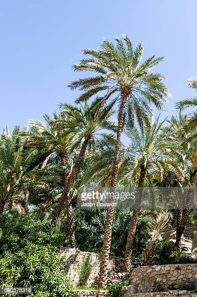 Palm trees sprout from walled terrace gardens near the shores of a wadi.