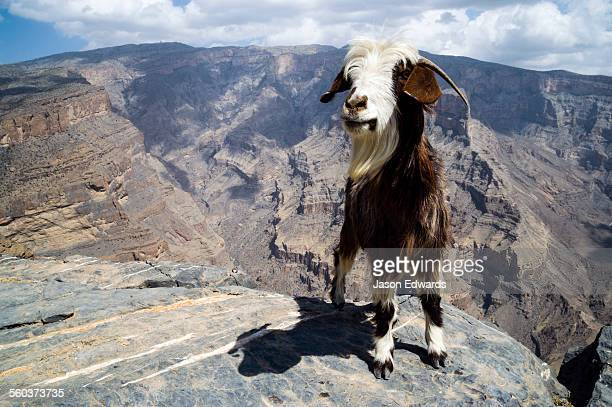 A goat stands beside sheer cliff walls and terraces carved by erosion in a massive desert canyon.