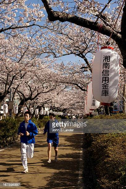 Wakamiyaoji Lane in Kamakura is one of the best cherry blossom viewing spots in the Tokyo area The lane ultimately leads to Tsurugaoka Hachimangu...