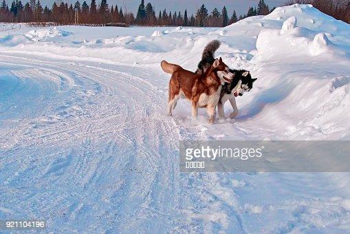 Walk With Pets Siberian Husky Playing On Winter Walk Husky Dogs Bite