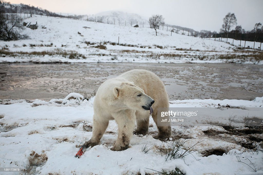 Walker the polar bear feeds on fish on his third birthday at the Highland Wildlife Park on December 7 2011 in Kingussie Scotland Walker was born in...