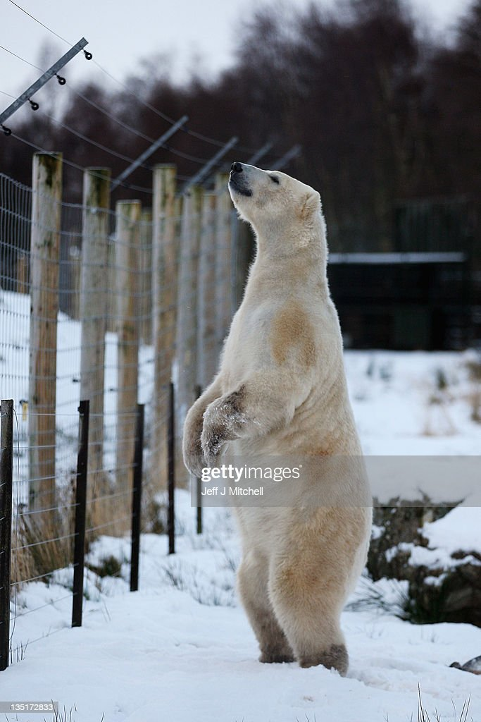Walker the polar bear looks over a fence on his third birthday at the Highland Wildlife Park on December 7, 2011 in Kingussie, Scotland. Walker was born in Rhenen Zoo in Holland on 7th December 2008. He came to live at the Highland Wildlife Park after his aunt, Freedom, became pregnant and needed to retire to her cubbing den, his mother was also due to come on heat and be reintroduced back to the Zoo's adult male, Walker's dad.