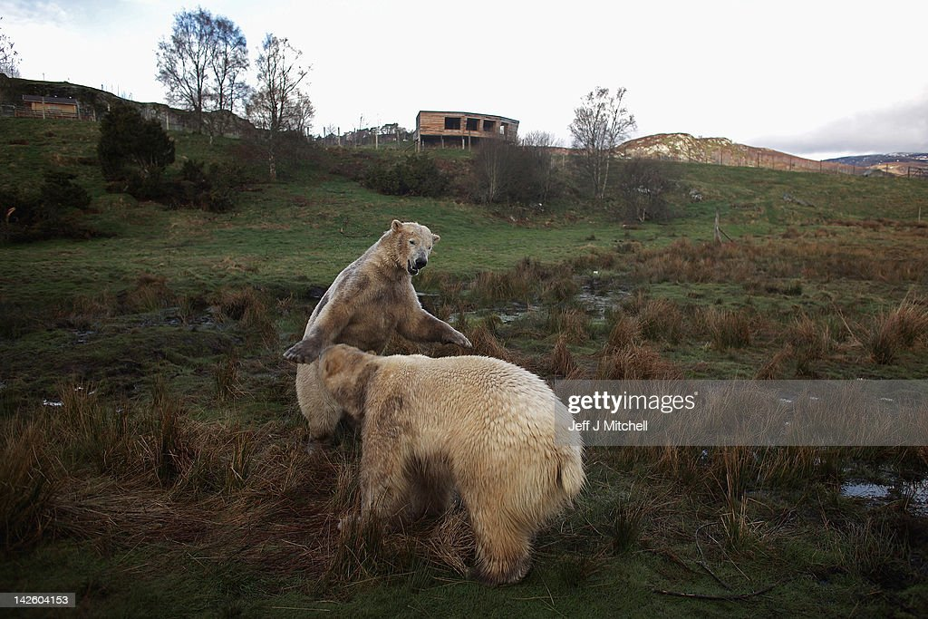 Walker (L) the polar bear meets with new male companion Arktos at the Highland Wildlife Park on April 9, 2012 in Kingussie, Scotland. Arktos arrived from Hannover Zoo in Germany on April 4 to be a companion to the Park's resident polar bear Walker. A year older than Walker and slightly larger, Arktos is four-years-old and it's hoped that the bears will establish a relationship of friendly competitiveness.