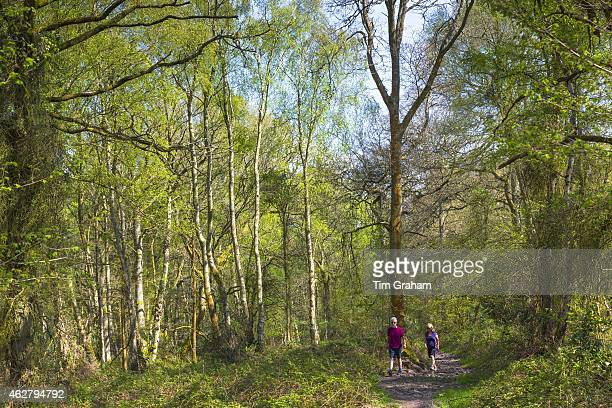 Walkers stroll in woodland scene of silver birch trees Betula pendula at Bruern Wood in The Cotswolds Oxfordshire UK