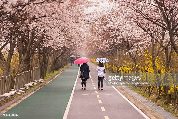 Walking a way under cherry blossoms
