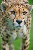 Walking cheetah with big open eyes