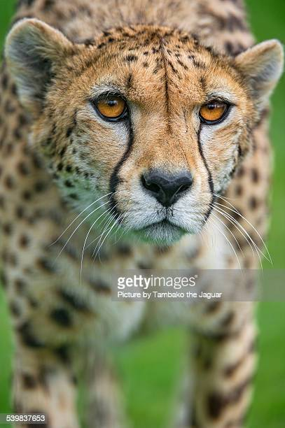 Walking cheetah with big open eyes