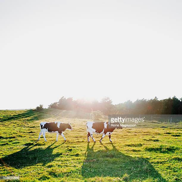 Walking cows in landscape