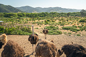 Ostrich Farm in California, Walking Birds