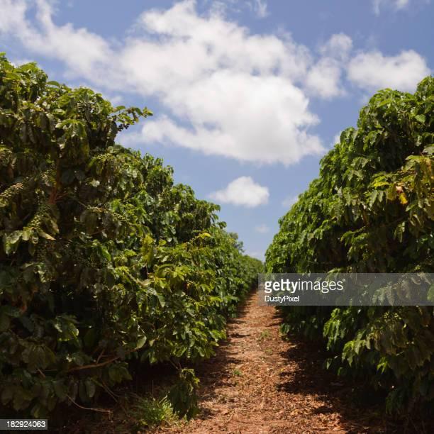 Walking path in between coffee plantation