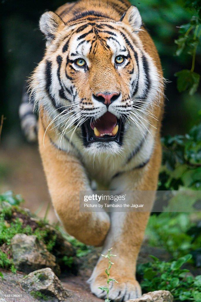 Walking Siberian tiger