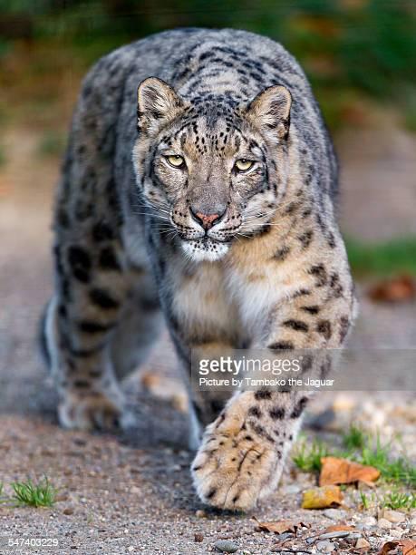 Walking snow leopard