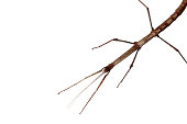 Stick-bug/Walking stick (Phasmatodea) from corner isolated on white backgroundSee my miscellaneous images serie by clicking on the image below:
