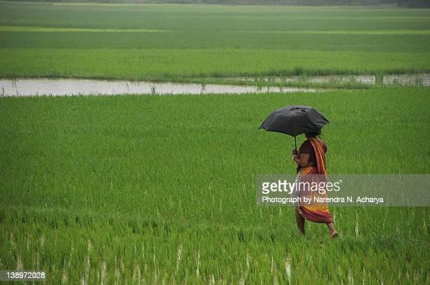 Walking through Paddy Fields in Rain