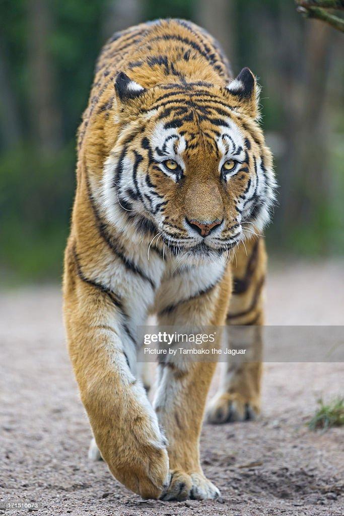 Walking tigress