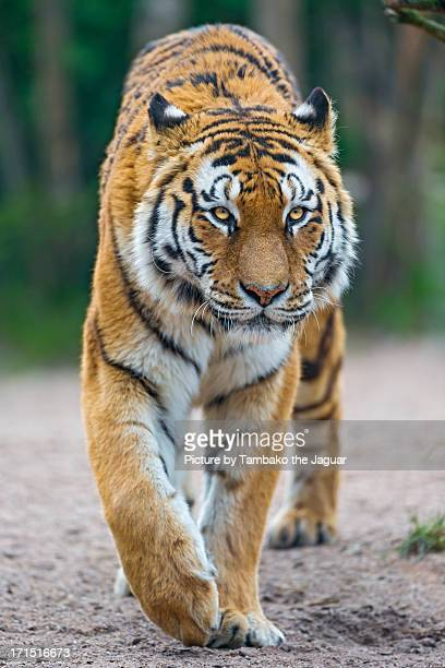 Walking tigress