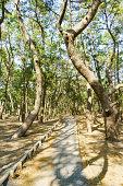 View of Walking Trail in a Pine Grove, Miho-no-Matsubara, Shizuoka-pref.