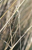 Walkingstick insect camouflaged on grasses