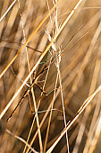 Walkingstick insect crawling in grass