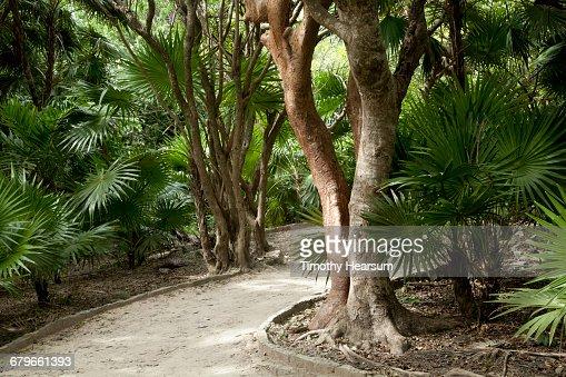 Walkway through fan palm trees : Stock Photo