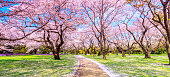 Walkway under the Sakura Tree beautiful in Japan