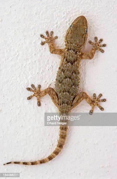Wall Gecko (Tarentola mauritanica), Majorca, Spain, Europe