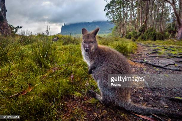 Wallaby in front of mount Oakleigh, Overland track, Tasmania
