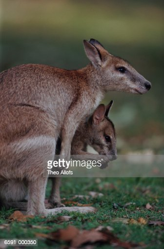 Wallaby Pouch Wallaby Joey In Mother...