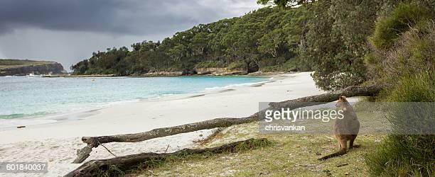 wallaby sitting on beach, Jervis Bay, New South Wales, Australia