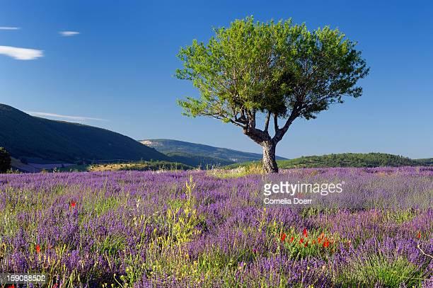 Walnut tree in a lavender field