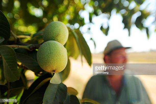 Walnuts grow on Kenny Watkins' farm in Linden California US on Wednesday Sept 14 2011 Watkins a fifthgeneration farmer ran afoul of the US cleanwater...