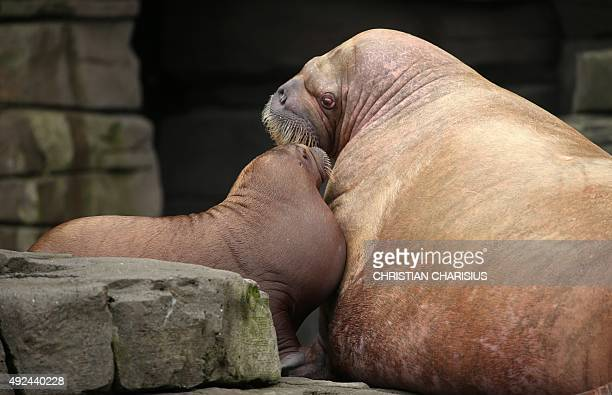Walrus baby 'Loki 'cuddles with its mother Polosa in the Hagenbeck zoo Hamburg northern Germany on October 13 2015 The animal born on June 5 weighs...