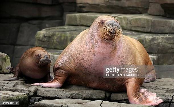 Walrus baby 'Loki' relaxes next to her mother Polosa in the Hagenbeck zoo Hamburg northern Germany on October 13 2015 The animal born on June 5...
