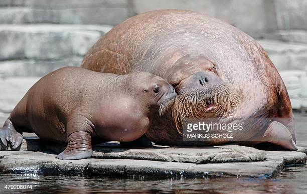 A walrus baby plays with its 19yearold mother Polosa in a pool in the Hagenbeck zoo Hamburg northern Germany on July 2 2015 The animal born on June 5...