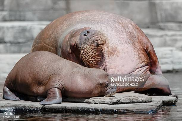 A walrus baby relaxes next to its 19yearold mother Polosa in a pool in the Hagenbeck zoo Hamburg northern Germany on July 2 2015 The animal born on...