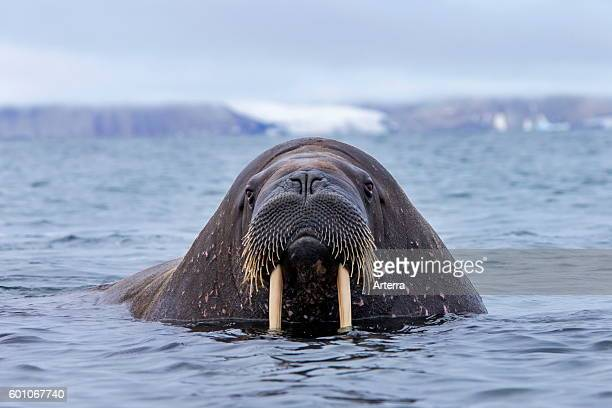Walrus close up of bull with large tusks swimming in the Arctic ocean