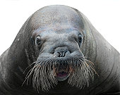 walrus close-up isolated on white background
