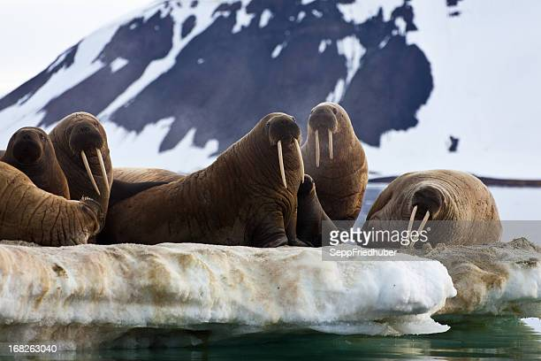 Walrus colony in  Franz Josef Land