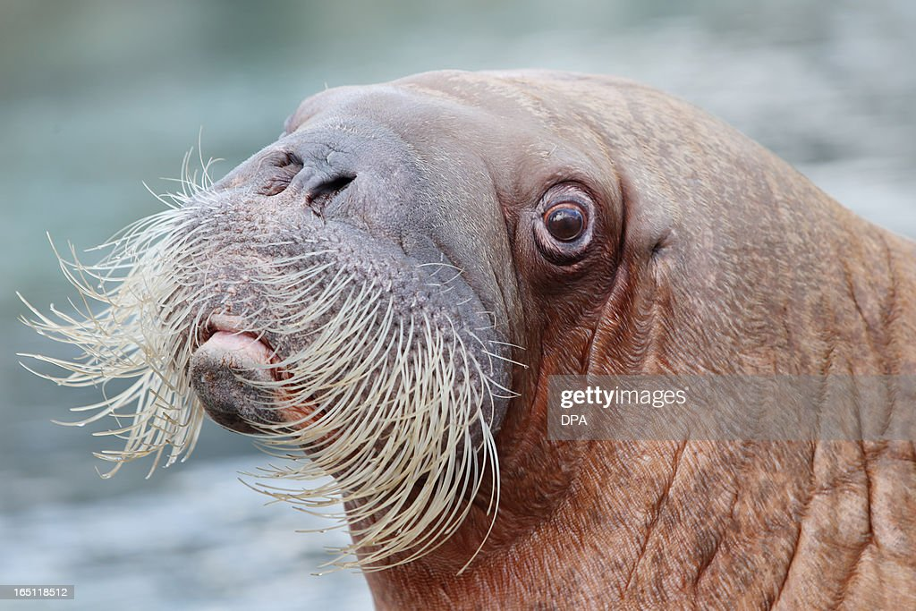 Walrus 'Dyna' looks on in its enclosure in the Hagenbeck animal park in Hamburg, northern Germany, on March 31, 2013.