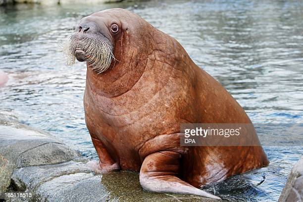 Walrus 'Dyna' stands in its enclosure in the Hagenbeck animal park in Hamburg northern Germany on March 31 2013 AFP PHOTO / MALTE CHRISTIANS GERMANY...