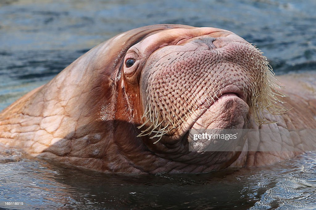 Walrus 'Dyna' swims in its enclosure in the Hagenbeck animal park in Hamburg, northern Germany, on March 31, 2013. AFP PHOTO / MALTE CHRISTIANS GERMANY OUT