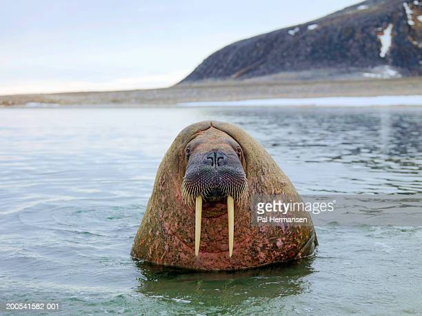 Walrus in sea (Odobenus rosmarus) , close-up