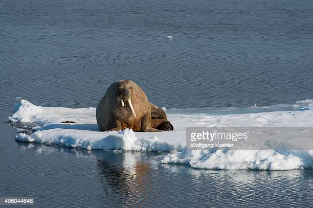 A walrus is resting on an ice floe in the pack ice north of Svalbard Norway