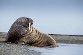 Walrus mammals on a beach in Svalbard in the Norwegian Arctic area