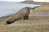 Walrus rookery in the Arctic