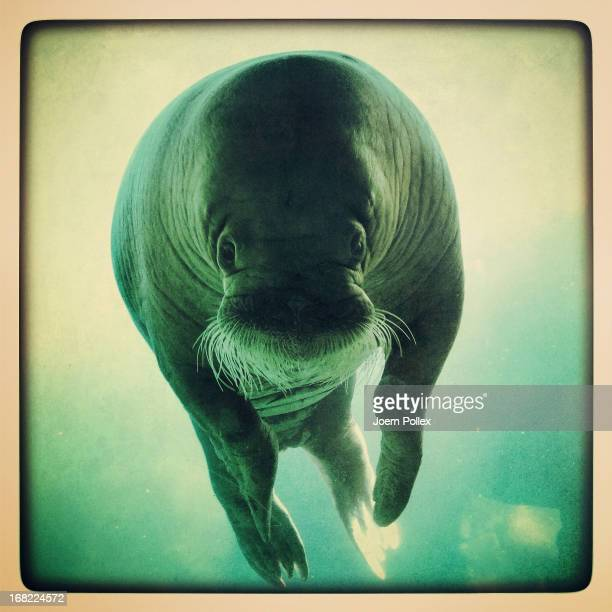 A walrus seen through the window of an aquarium at the Hagenbeck Zoo on April 30 2013 in Hamburg Germany