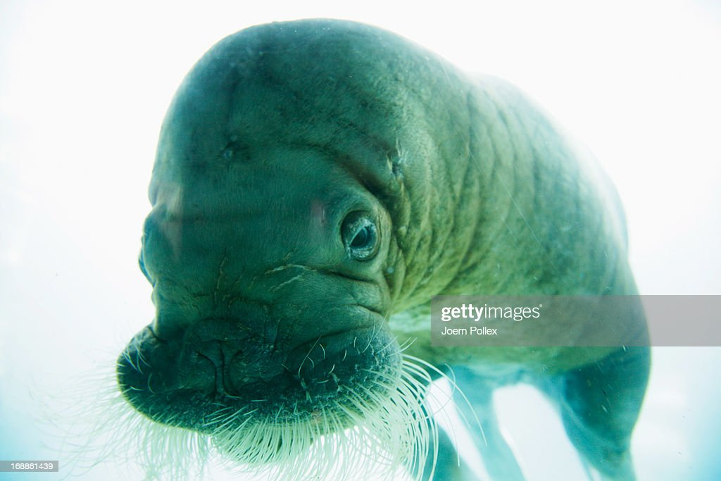 A walrus seen through the window of an aquarium during a baby animals inventory at Hagenbeck zoo on May 16, 2013 in Hamburg, Germany.
