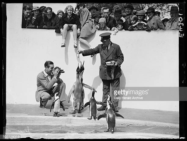 Walt Disney filming penguins at London Zoo 1935' American animation pioneer Walt Disney films the penguins at London Zoo being fed by the keeper